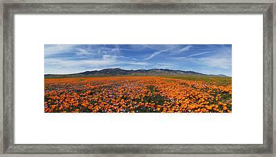 California Poppies Framed Print by Gary Cloud