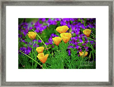 California Poppies Framed Print by Michael Cinnamond