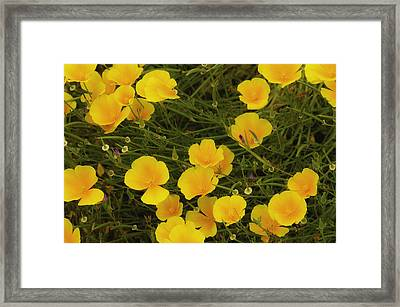 Framed Print featuring the photograph California Poppies by Sherri Meyer