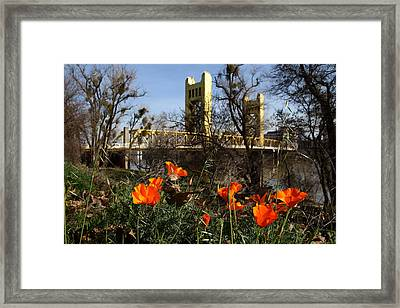 California Poppies With The Slightly Photographically Blurred Sacramento Tower Bridge In The Back Framed Print by Wingsdomain Art and Photography