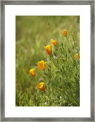 California Poppy Framed Print by Doug Herr
