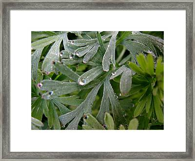 California Poppy Leaves Framed Print by PJ  Cloud