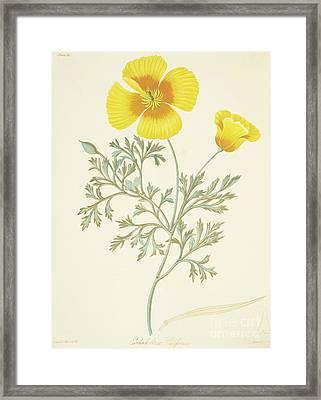 California Poppy Framed Print by Margaret Roscoe