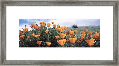 California Poppy Napa Valley Ca Framed Print by Panoramic Images