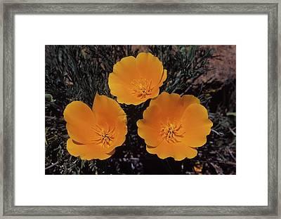 California Poppy Trio Framed Print