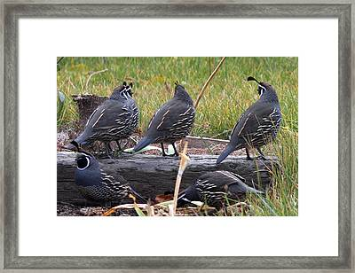 California Quail - 0001 Framed Print