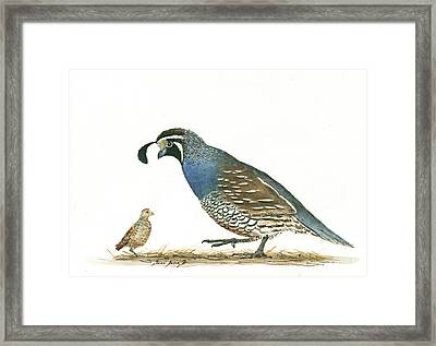 California Quail Framed Print
