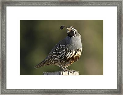 California Quail Male Santa Cruz Framed Print by Sebastian Kennerknecht
