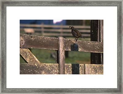California Quail - Pierce Ranch Framed Print by Soli Deo Gloria Wilderness And Wildlife Photography