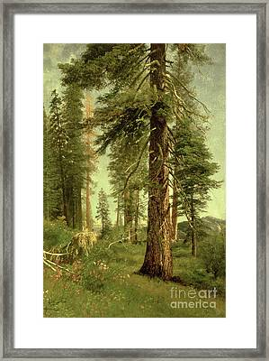 California Redwoods Framed Print