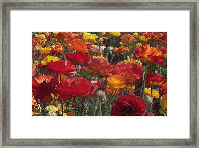 California Riches Framed Print by Jean Booth