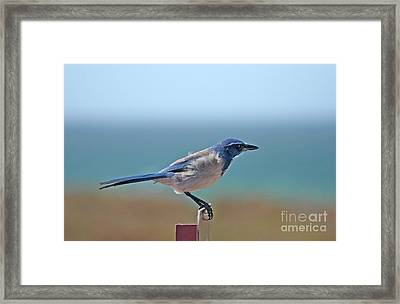 California Scrub Jay Framed Print