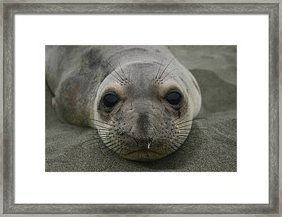 California Sea Lion Framed Print by Hans Jankowski