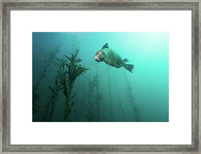 California Sea Lion In Kelp Framed Print by Steven Trainoff Ph.D.