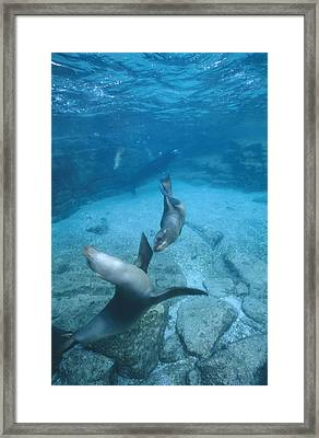 California Sea Lions At Play,  Zalophus Framed Print by James Forte