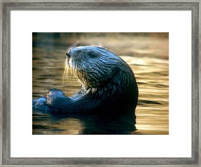 California Sea Otter Framed Print