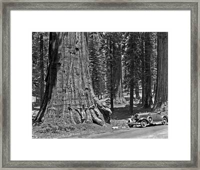California Sequoia Tree Framed Print by Underwood Archives