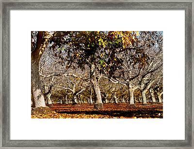 California Walnut Orchard Framed Print by Pamela Patch