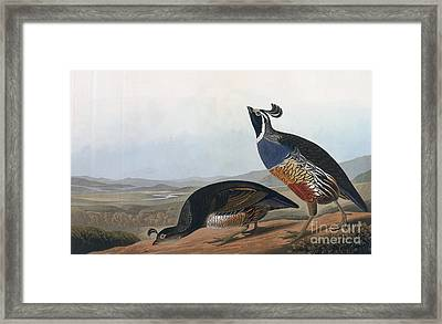 Californian Partridge Framed Print