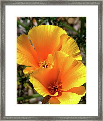 Framed Print featuring the photograph Californian Poppy by Baggieoldboy
