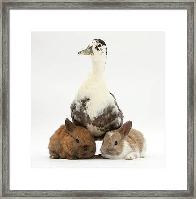 Call Duck And Baby Netherland Framed Print by Mark Taylor