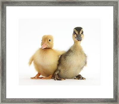 Call Duckling And Mallard Duckling Framed Print by Mark Taylor