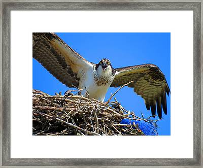 Call Of The Osprey Framed Print by Dianne Cowen