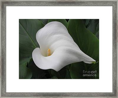 Calla II Framed Print by Anne Ditmars