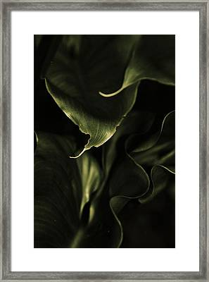 Calla Leaves Framed Print by Amy Neal