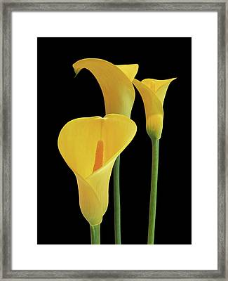 Calla Lilies - Yellow On Black Framed Print