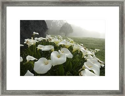Calla Lilies Zantedeschia Aethiopica Framed Print
