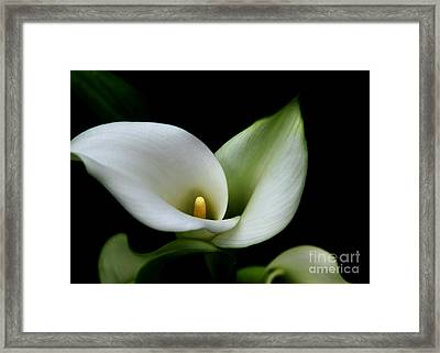 Calla Lilly Framed Print by Freda Sbordoni