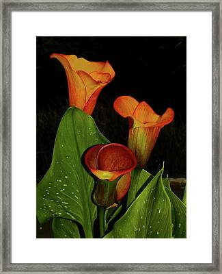 Calla Lilly Trio Framed Print by Patricia Crawford