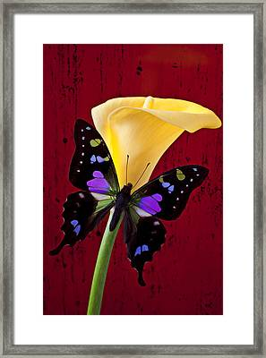 Calla Lily And Purple Black Butterfly Framed Print by Garry Gay
