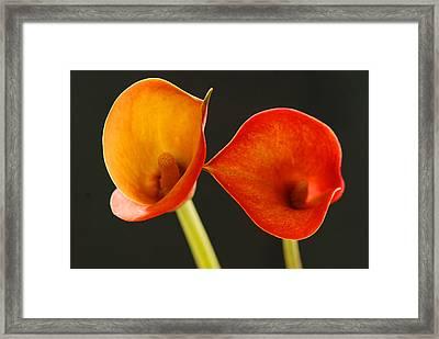 Calla Lily Framed Print by Dennis Hammer