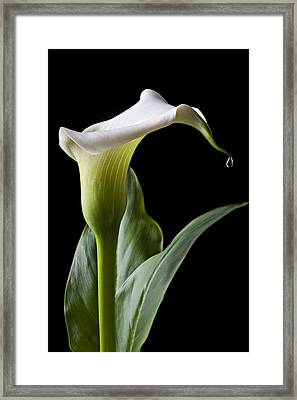 Calla Lily With Drip Framed Print by Garry Gay