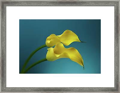 Calla Lilyies Framed Print by Sergey Taran