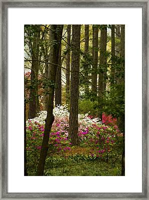 Callaway Gardens Spring Azaleas Framed Print