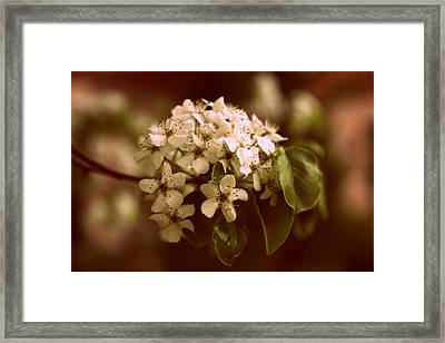 Callery Pear Blossoms Framed Print
