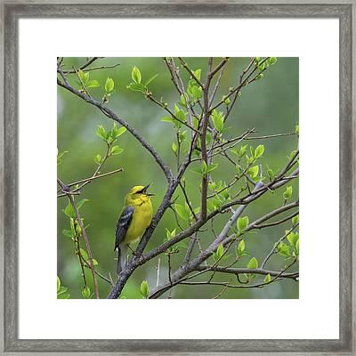 Calling Blue Winged Warbler Square Framed Print