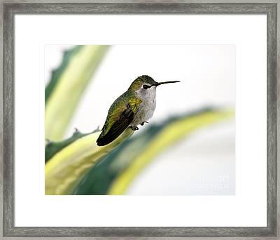 Calliope Hummingbird On Agave Framed Print