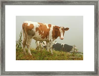 Calves Grazing Framed Print