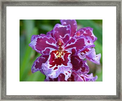Cambria Orchid Framed Print by Juergen Roth