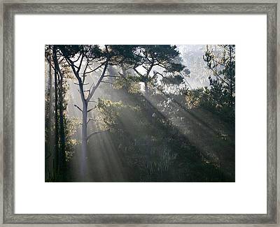 Cambria Pines Framed Print by Greg Iger