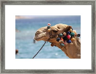 Camel By The Sea Framed Print by Tawfik W Dajani