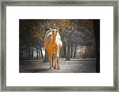 Camel Framed Print by Douglas Barnard