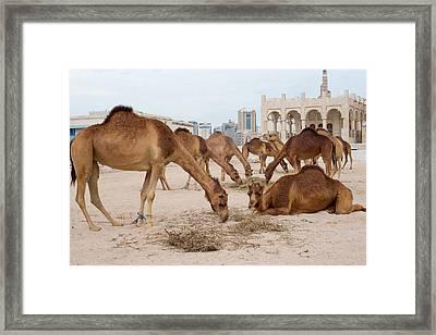 Camel Lineup Framed Print by Paul Cowan