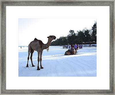 Camel On Beach Kenya Wedding 5 Framed Print
