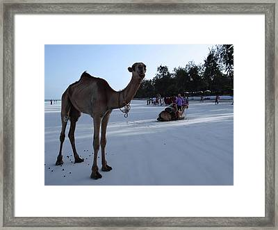 Camel On Beach Kenya Wedding 6 Framed Print