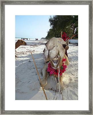 Camel On Beach Kenya Wedding2 Framed Print